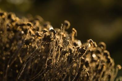 27-365-driedflowers-1